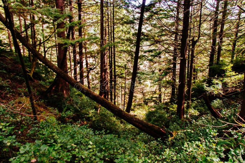 在陡峭的青山的下落的稀薄的树在一个美丽的森林里 库存照片