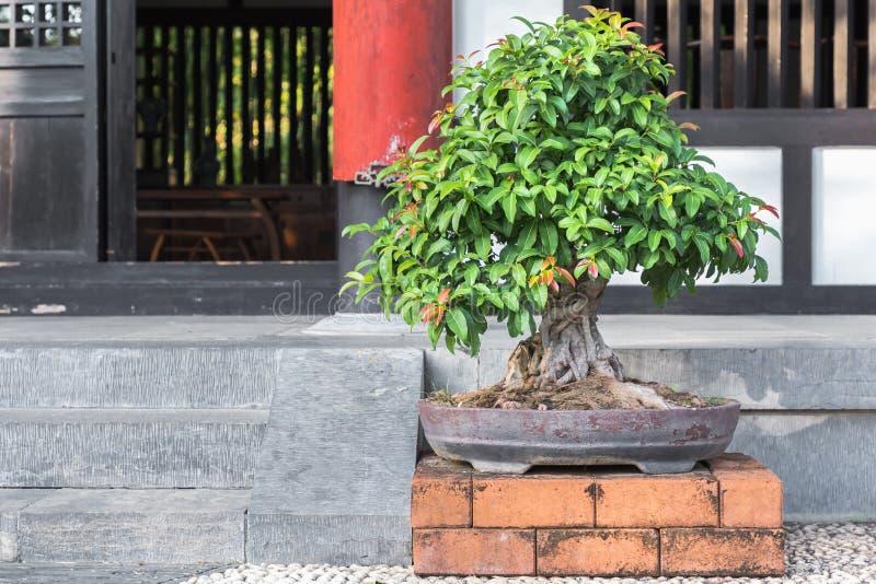 在陶瓷罐的盆景树在盆景从事园艺 免版税库存图片