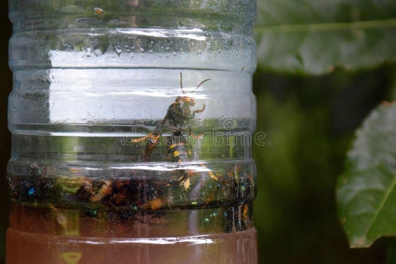 在陷井的黄蜂 库存照片
