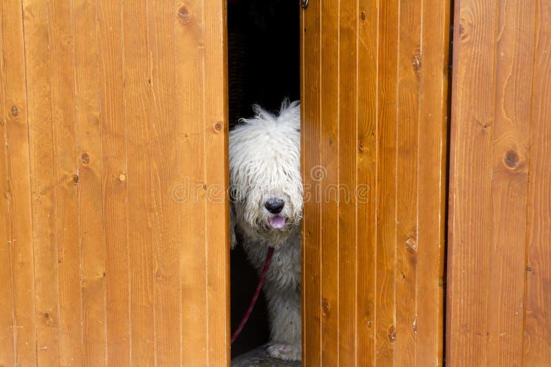 在隐藏害羞的木头的好奇狗门之后 库存图片