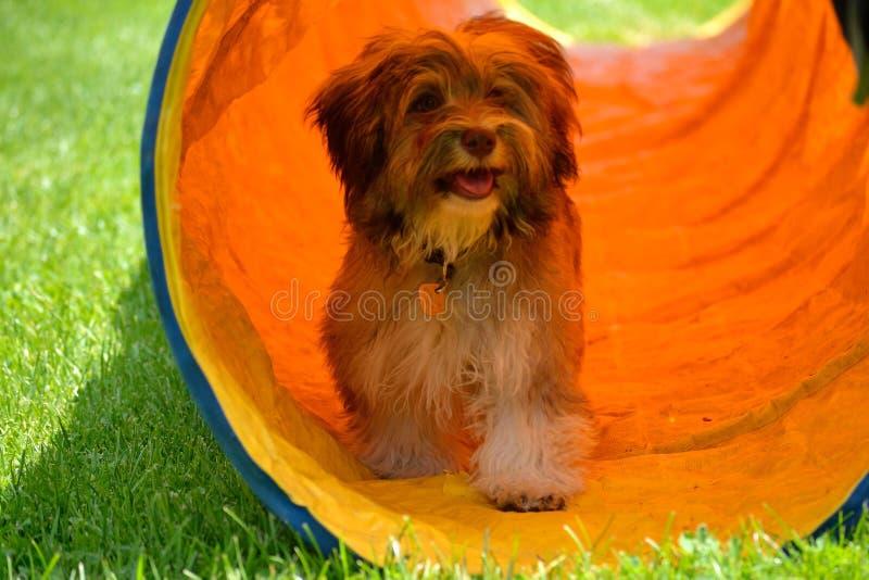 在隧道的灰色哈瓦那小狗 免版税库存照片