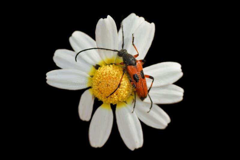 在雏菊栖息的红色甲虫 免版税库存照片