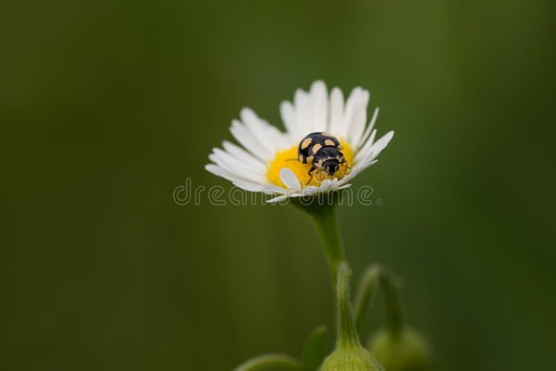 在雏菊的黑瓢虫 库存图片