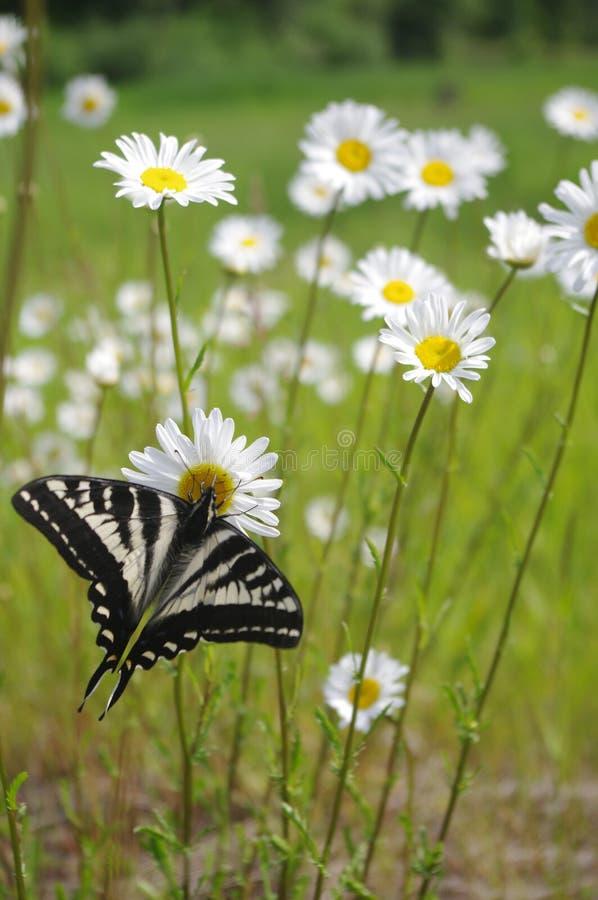 在雏菊的蝴蝶 库存图片