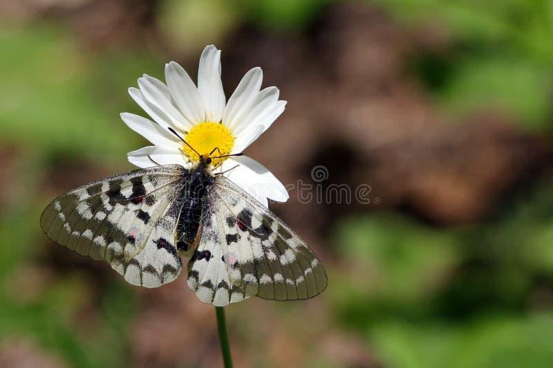 在雏菊的Clodius Parnassian 免版税库存照片