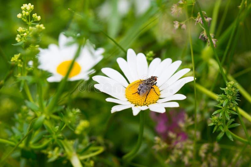 在雏菊花的大马蝇 免版税图库摄影