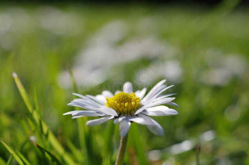 在雏菊领域,宏观射击的一朵雏菊 免版税库存照片