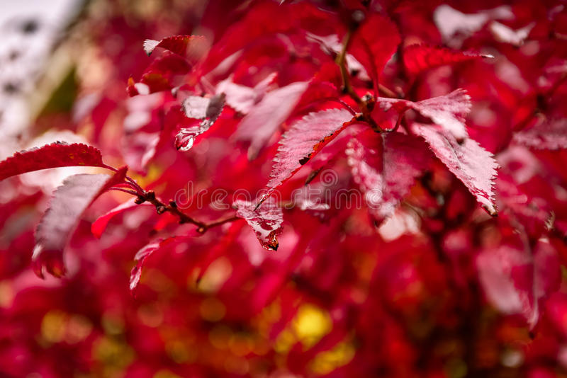 在雨下的红色秋叶 马尔萨拉颜色口气 库存照片