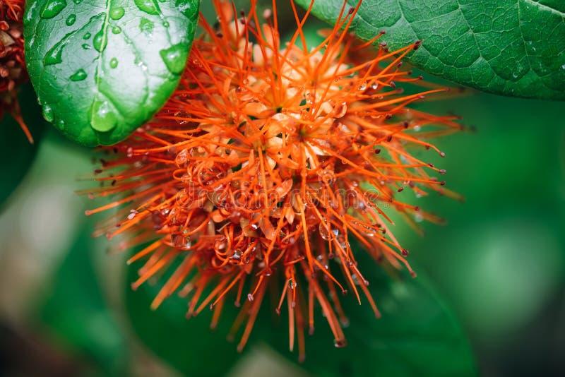 在雨下落以后的宏观红色calliandra haematocephala花 免版税库存图片