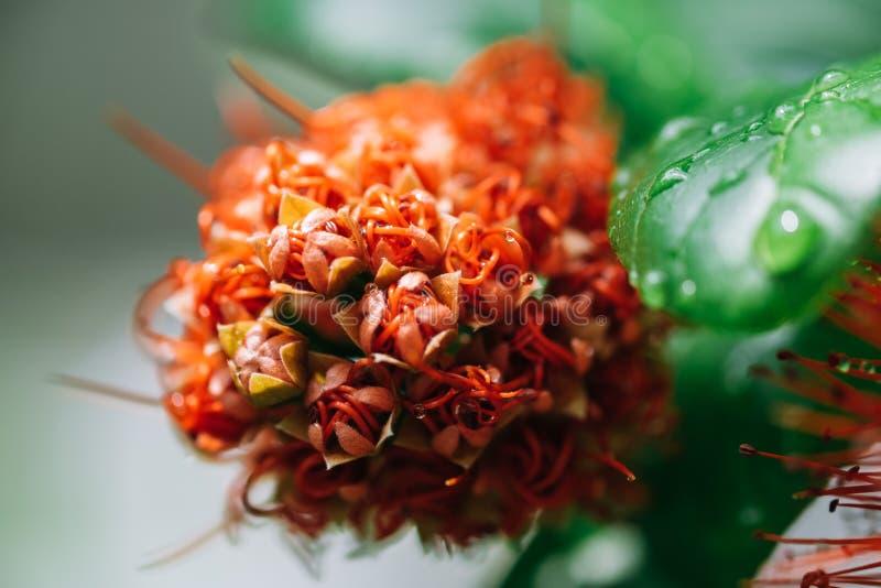 在雨下落以后的宏观红色calliandra haematocephala花 免版税库存照片
