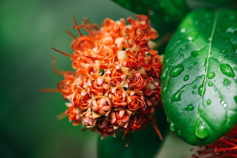 在雨下落以后的宏观红色calliandra haematocephala花 图库摄影