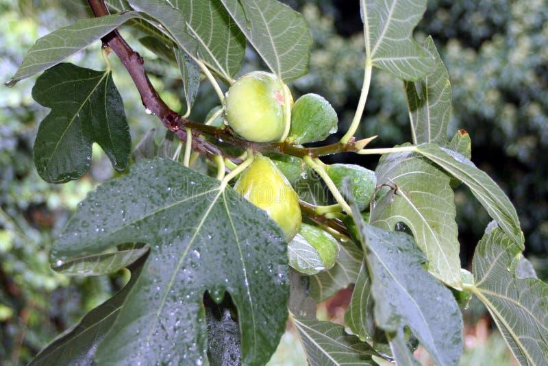 在雨以后的无花果树 图库摄影