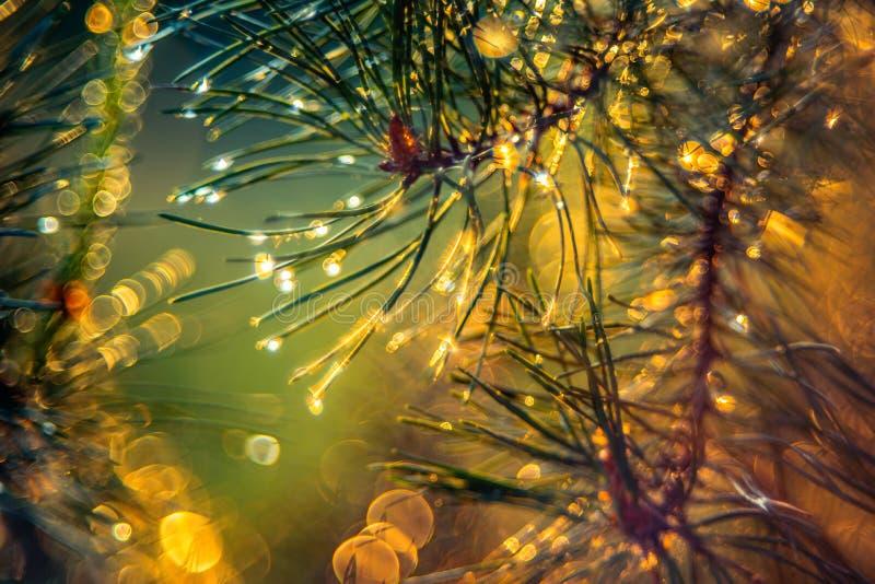 在雨以后的杉木针在日落光,特写镜头 免版税图库摄影