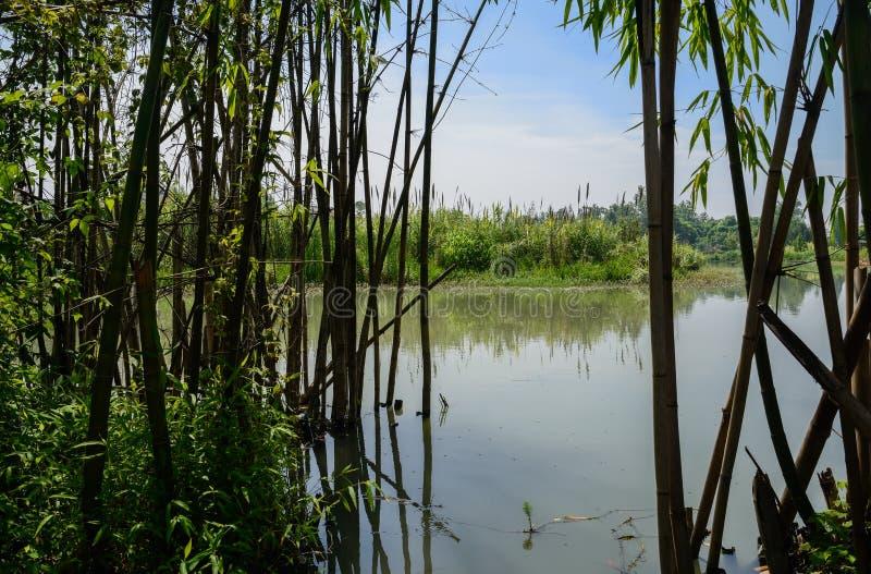 在雨以后的湖边竹子在晴朗的夏天早晨 库存图片