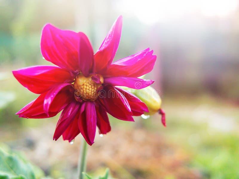 在雨以后的湿红色大丽花花在太阳的光芒的一个夏日,关闭,拷贝空间 免版税库存照片