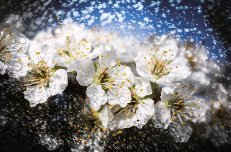 在雨以后的白花树 库存照片