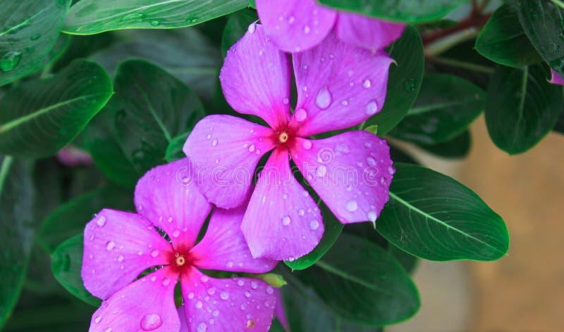 在雨以后的紫罗兰色花 库存图片