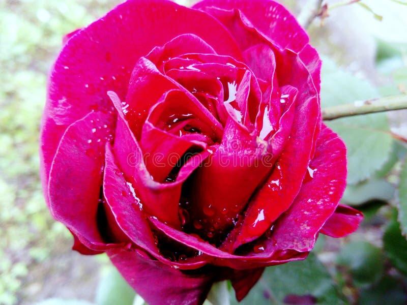在雨以后的红色玫瑰 免版税图库摄影