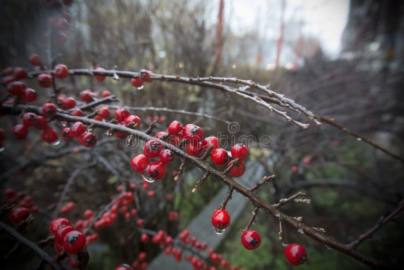 在雨以后的红色莓果 图库摄影