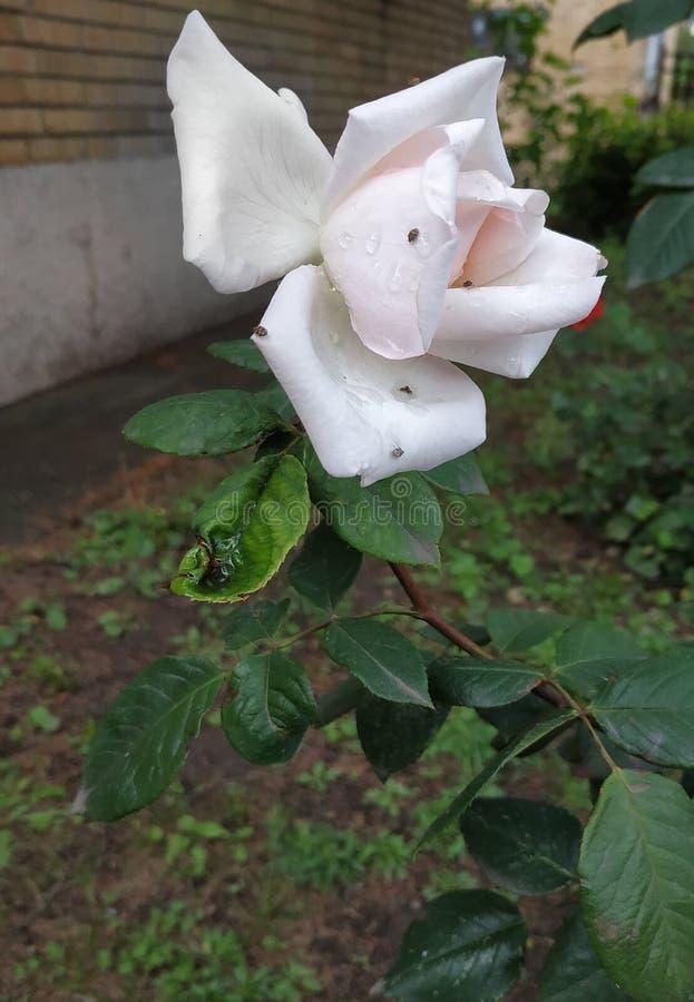 在雨以后的美丽的白玫瑰 免版税图库摄影