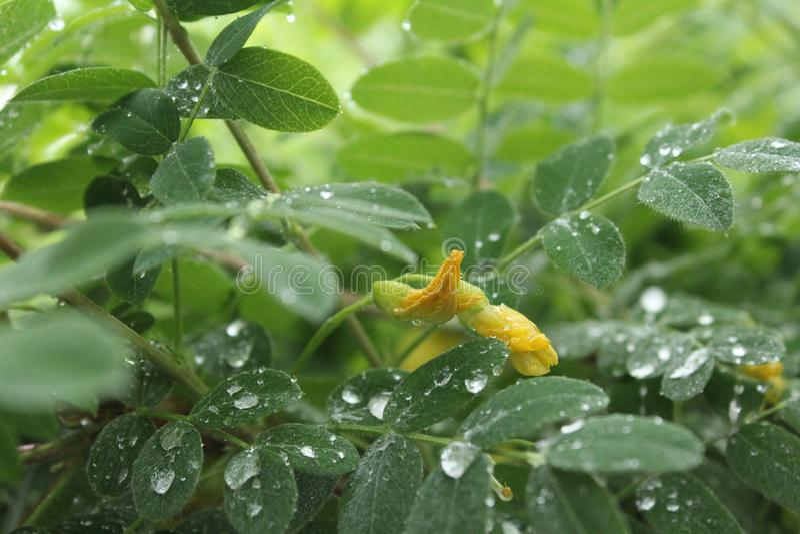 在雨以后的金合欢 免版税库存图片