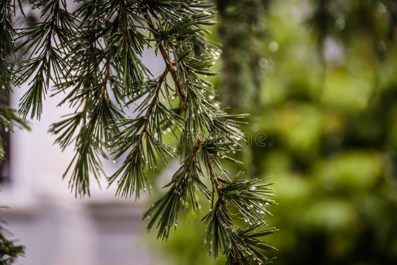 在雨以后的雨珠在杉树的叶子 库存图片