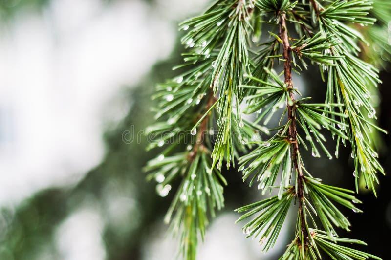 在雨以后的雨珠在杉树的叶子 免版税图库摄影