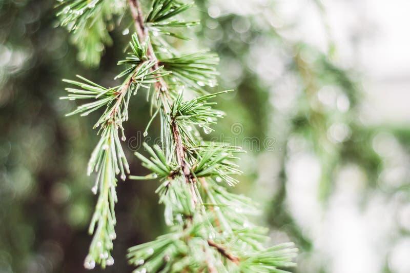 在雨以后的雨珠在杉树的叶子 库存照片