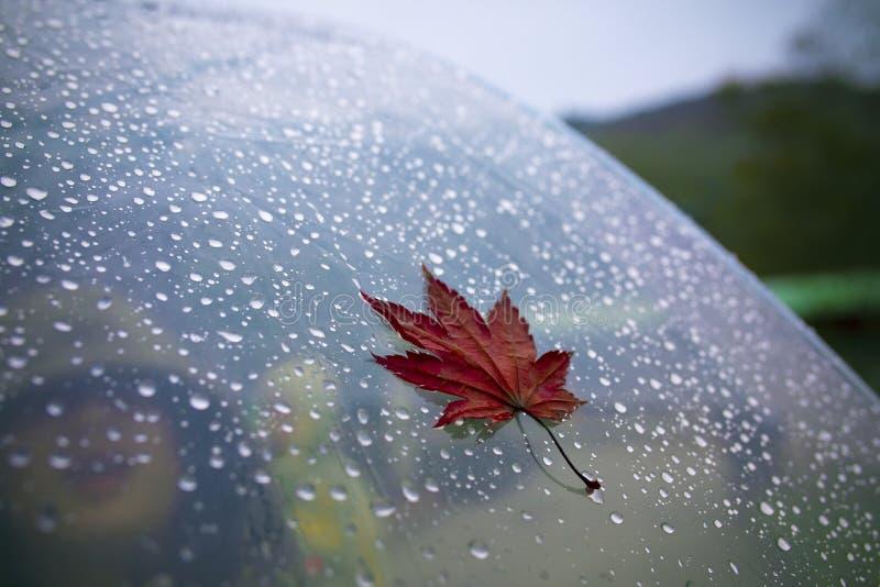 在雨伞北海道日本的红色枫叶 库存照片