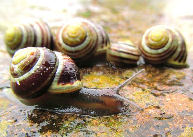 在雨关闭的蜗牛 库存图片