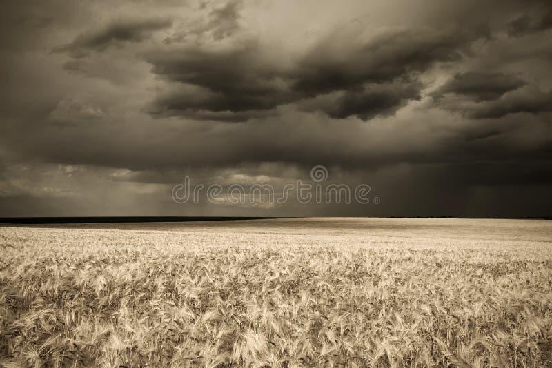 在雨减速火箭的样式麦子的域 免版税库存照片