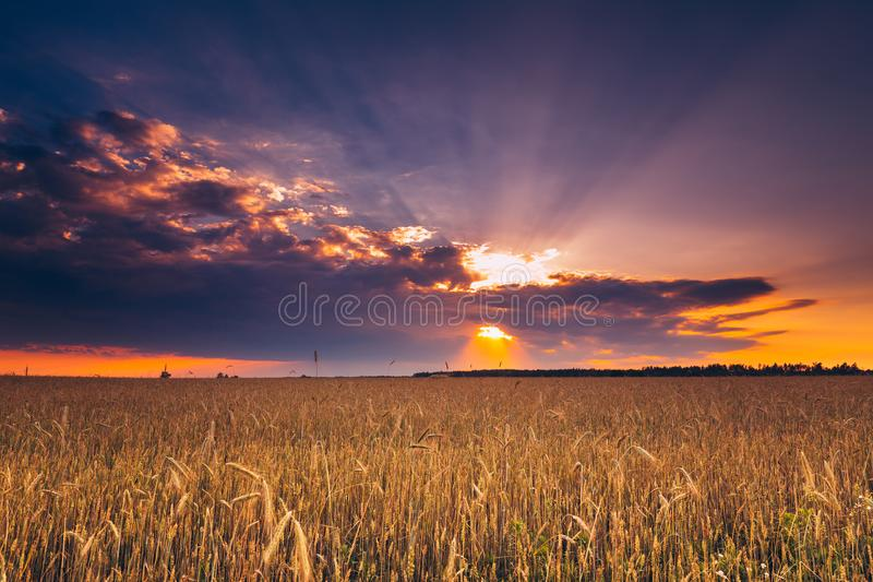 在雨前的剧烈的天空在麦田上 黄色大麦领域 免版税库存图片