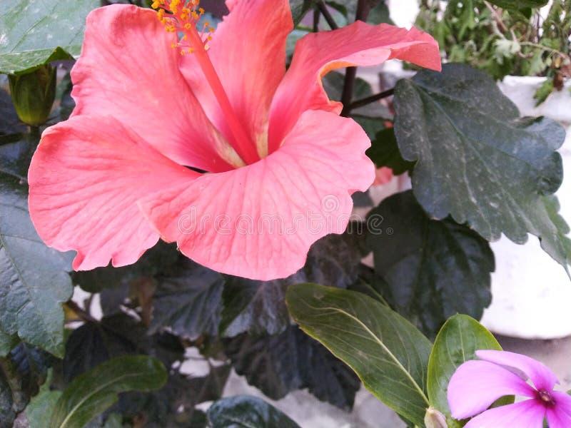 在雨季生气勃勃芽植物灌木红色花的茉莉花百合mogra白花 库存图片