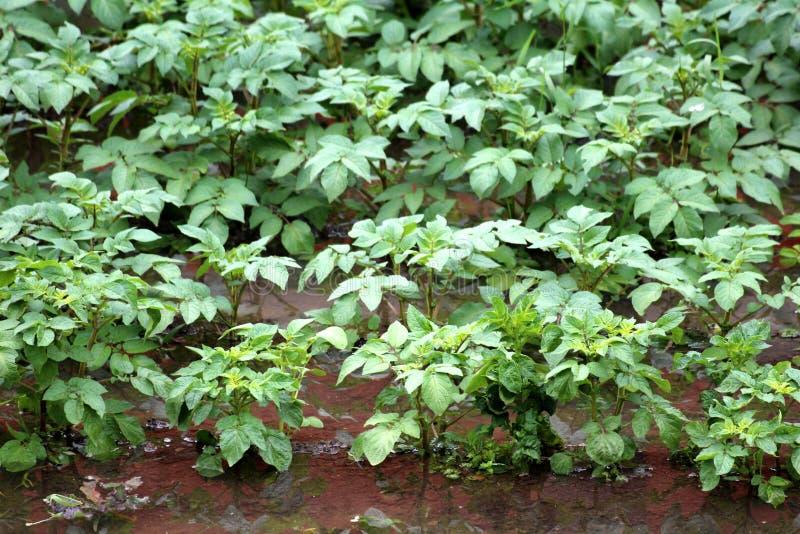 在雨季节期间部分地被充斥的地方都市庭院里密集地种植了土豆植物 库存图片