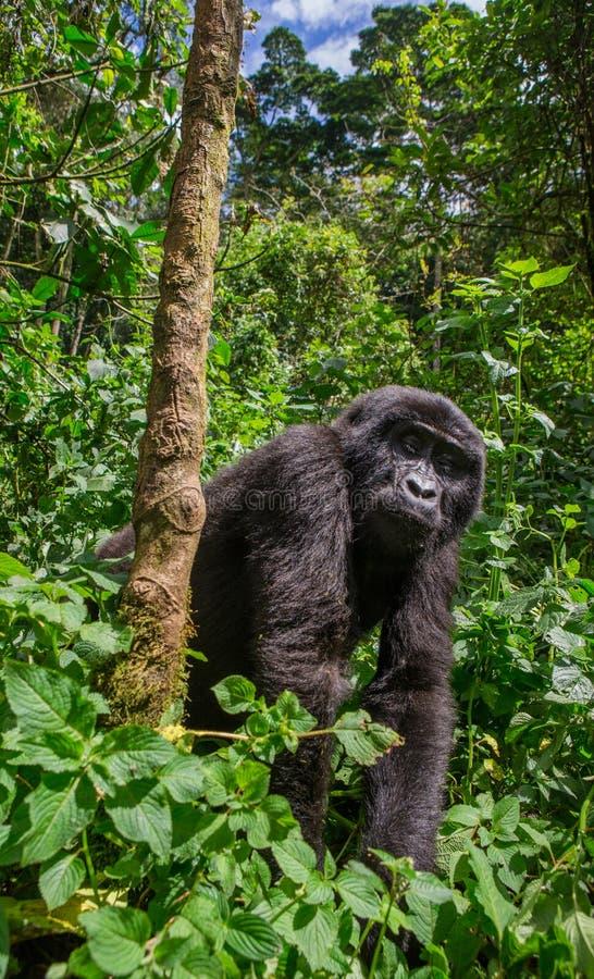 在雨林乌干达的山地大猩猩 Bwindi难贯穿的森林国家公园 图库摄影
