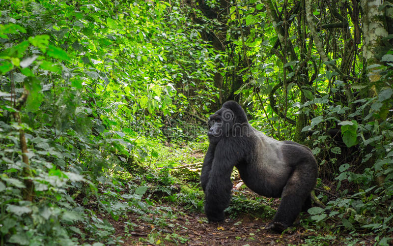 在雨林乌干达的统治公山地大猩猩 Bwindi难贯穿的森林国家公园 库存照片
