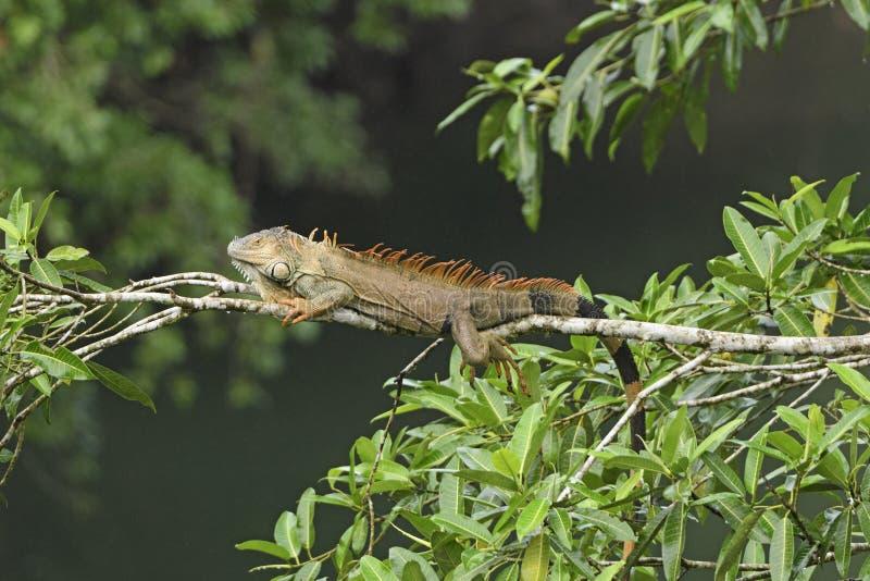 在雨林树的鬣鳞蜥 免版税库存照片