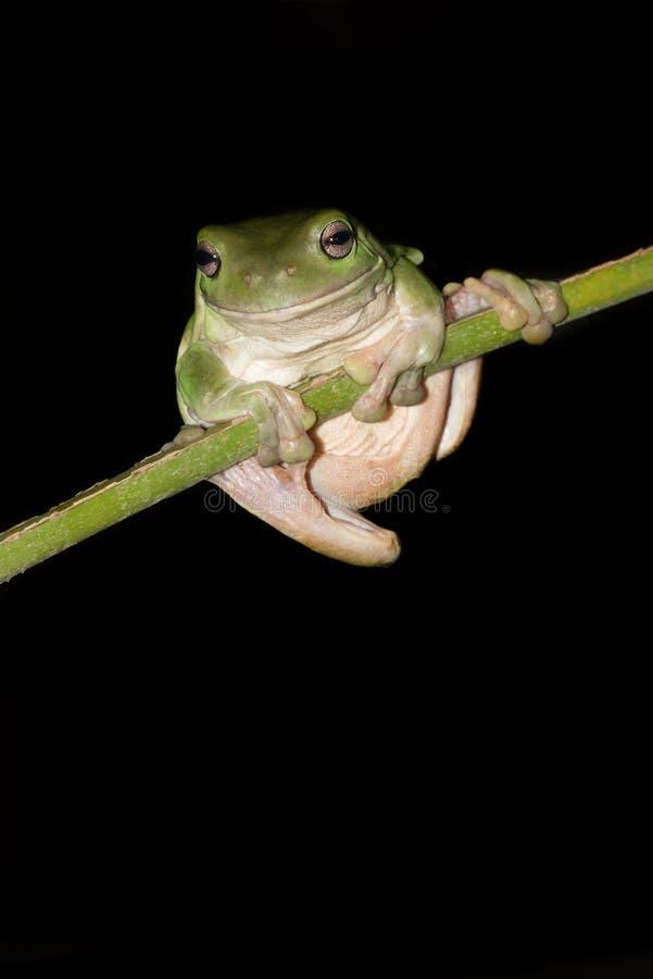 在雨林棕榈叶状体的澳大利亚绿色雨蛙 免版税库存照片