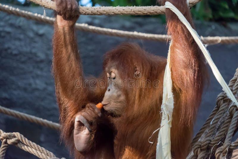在雨林的一只野生母亲Bornean猩猩 免版税库存照片
