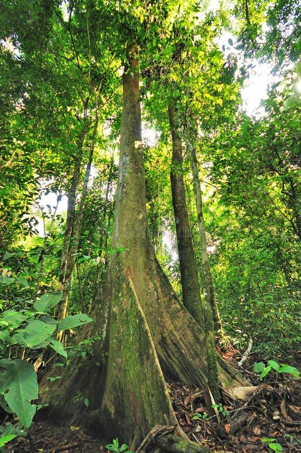 在雨林的树 库存图片