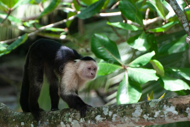 在雨林的白头的连斗帽女大衣猴子Cebus capucinus  免版税库存图片