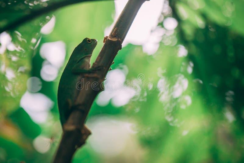 在雨林的绿蜥蜴在哥斯达黎加 免版税库存照片