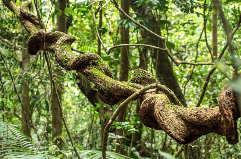 在雨林的藤本植物 免版税库存图片