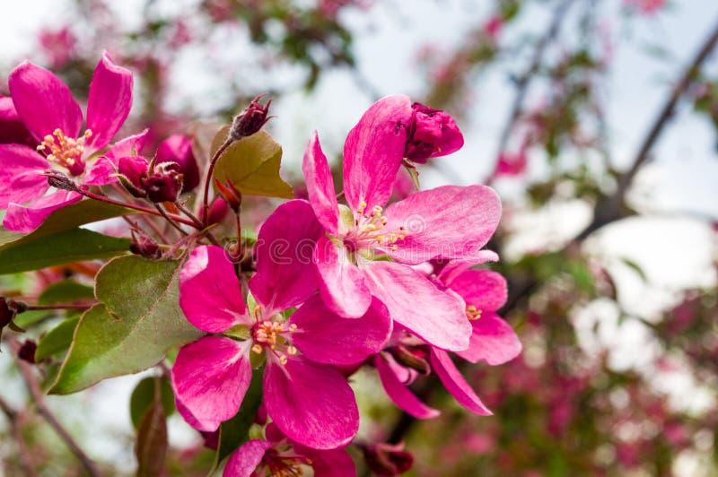 在雨珠的背景开花的美丽的桃红色樱桃在早春天关闭的一好日子,软的焦点 库存照片