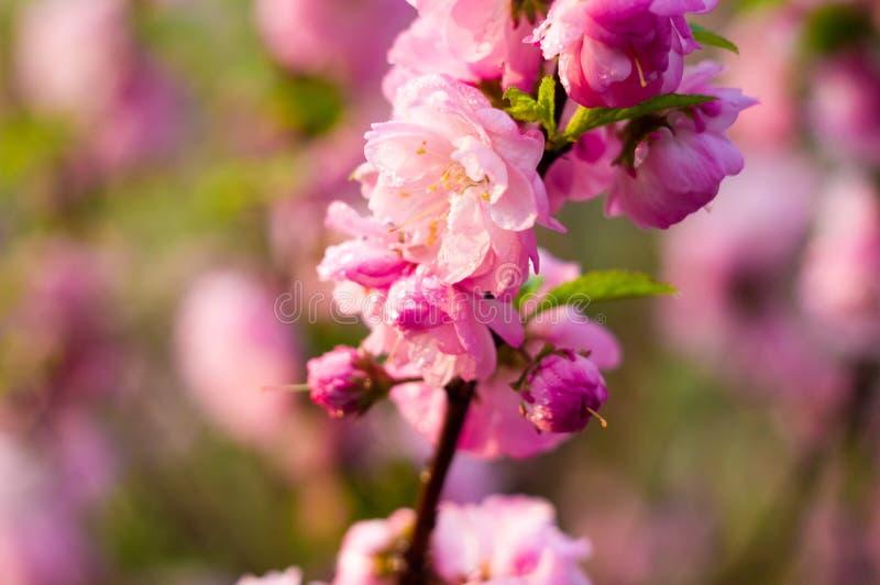 在雨珠的背景开花的美丽的桃红色樱桃在早春天关闭的一好日子,软的焦点 免版税库存图片