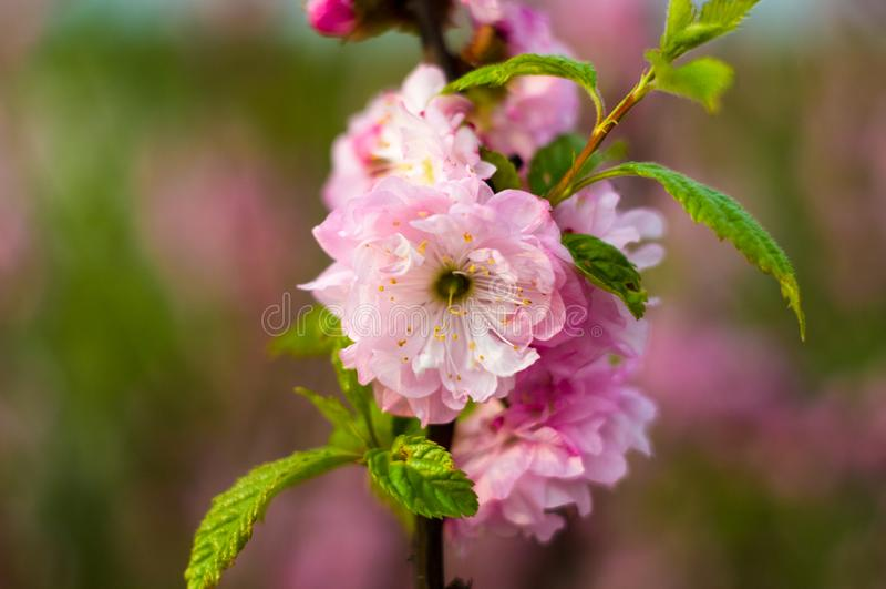 在雨珠的背景开花的美丽的桃红色樱桃在早春天关闭的一好日子,软的焦点 免版税库存照片