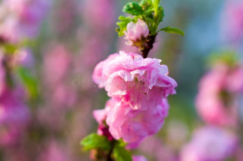 在雨珠的背景开花的美丽的桃红色樱桃在早春天关闭的一好日子,软的焦点 库存图片