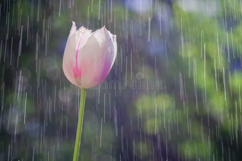 在雨背景的浅粉红色的郁金香投下轨道 免版税图库摄影