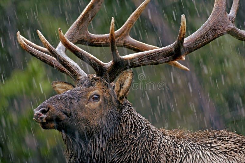 在雨风暴的麋公牛 免版税库存图片