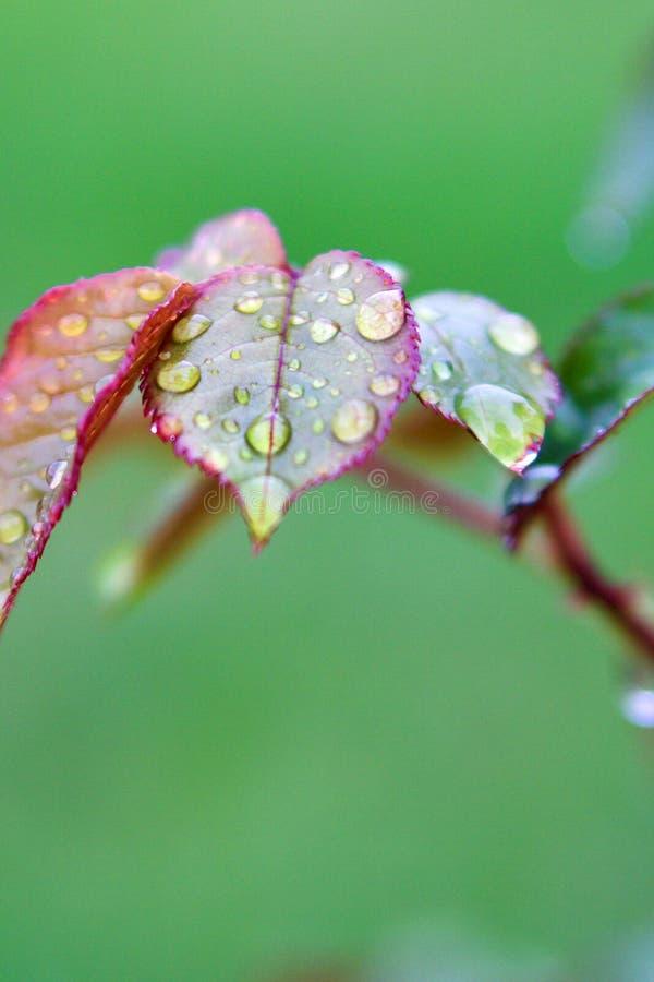 在雨,特写镜头以后浇灌在玫瑰色` s叶子的下落,垂直 库存照片